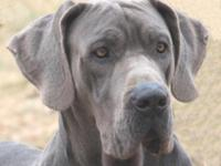 We have an AKC Euro/American color pure 2 year old blue