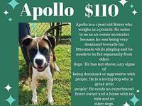 My story Apollo is a 1 year old Boxer who weighs 52.2