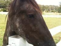 Appaloosa - Ace - Large - Young - Male - Horse You