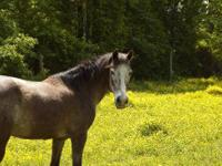 Appaloosa - Blaze - Medium - Senior - Female - Horse 15