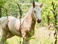 Appaloosa - Blue Sky - Large - Baby - Female - Horse