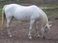 Appaloosa - Coconut - Medium - Adult - Female - Horse