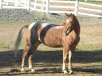 Appaloosa - Cosmo - Medium - Adult - Male - Horse Cosmo