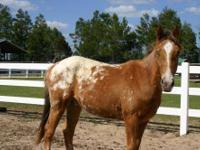 Appaloosa - Dancer - Medium - Young - Male - Horse