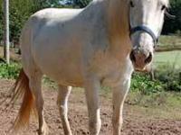 Appaloosa - Fancy - Medium - Adult - Female - Horse