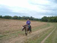 Very nice Reining Gelding Good at Team Penning Won the