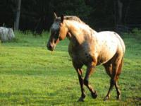Appaloosa - Gypsy Rose - Medium - Adult - Female -