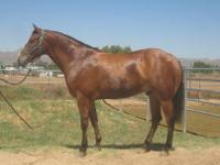 Buddy is a 2004 solid bay Appaloosa gelding. Buddy is