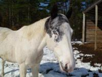 Appaloosa - Koda Blue-eyes - Medium - Adult - Male -
