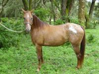 Appaloosa - Lucy - Large - Adult - Female - Horse