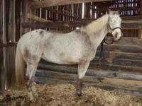 Roan Appaloosa mare 14.3 hands, 7 years old. Will be 8