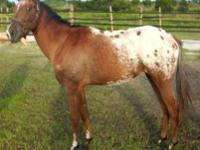 Appaloosa - Navajo Aphc $495 - Medium - Young - Male -