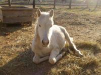 Appaloosa - Orion - Medium - Baby - Male - Horse Orion