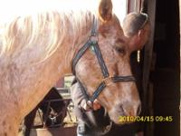 Appaloosa - Quin - Large - Adult - Male - Horse HI