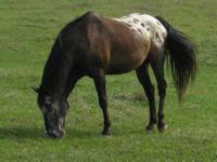 Appaloosa - Spanky - Large - Adult - Male - Horse