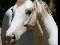 Appaloosa - Spirit - Large - Adult - Male - Horse Which