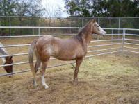 Appaloosa - Spunky - Large - Adult - Female - Horse