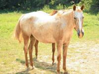 Appaloosa - Truxton - Medium - Adult - Male - Horse