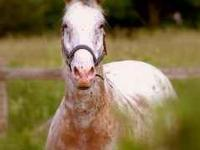 17 year old 14.3 hand gelding great trail horse easy