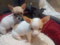 I have 3 apple head chihuahuas, 8 weeks old, first