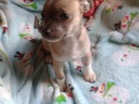 One female Chihuahua puppy. She is 9 weeks and have