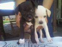 I have 2 Male Apple Head Teacup Chihuahua Puppies and 1
