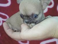 Female Apple Head Teacup Chihuahua puppies!! Purebred