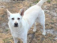 Apple is a petite 30 pound shepherd mix who is timid to