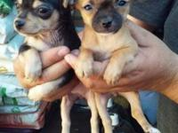 ADORABLE PUREBRED TEACUP APPLEHEAD CHIHUAHUA PUPPIES, 3