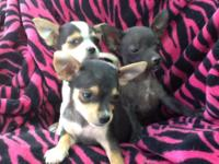 Applehead Chihuahua Puppies, .they just turn 6 weeks,