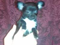 Kate is a applehead chihuahua puppy looking for her