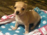 Adorable playful loving male Chihuahua who needs a