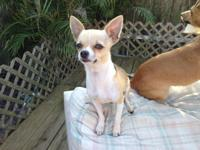 MALE PUREBREED APPLEHEAD CHIHUHUA. 13 MONTHS OLD VERY
