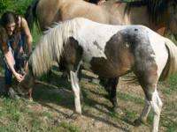 Cheyenne is a 2 yr old appy/paint pony mare....she is