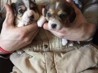 For sale Beagle puppies. 2 tan and white females, 1