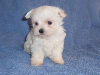 I have two small very cute little Maltese puppies born