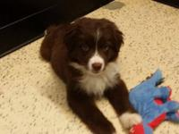 One female red and white mini Australian shepherd for