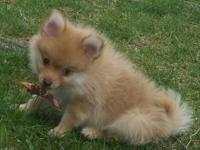 I have two gorgeous mini poms. They are male and both