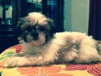 Sandy Acres Kennel is a small Shih Tzu and Yorkshire