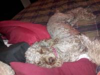 I have 7 Standard Poodle Pups that will be ready the
