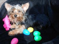 I HAVE A 6 MONTH OLD MALE BLACK AND TAN YORKIE. HE IS