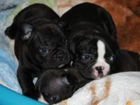2 Male APRI and ACA signed up French bulldog puppies