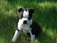 We have a Gorgeous litter of Boston Terrier Puppies! We