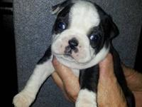 I have three full blood APRI registered Boston Terrier
