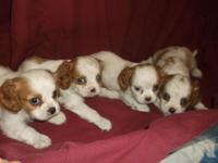 We have 6 beautiful blenheim and white babies, 4 boys