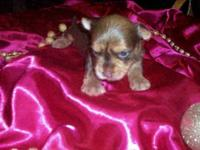 APRI registered chocolate male puppy. Will be ready for