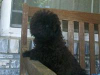 APRI female toy poodle. Her moms and dads are APRI and