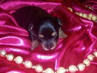 APRI female Yorkie. She is a traditional and her mom is