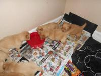 We have 8 APRI registered golden retriever puppies, all