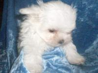 APRI registered male Maltese. Very playful. He charts